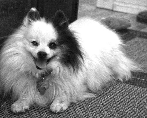 Cyclone (Pomeranian, National Mill Dog Rescue)
